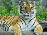 Игра Пазлы Львы и Тигры